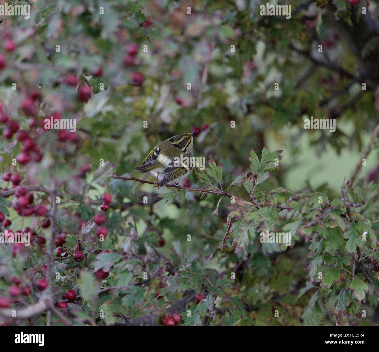 Pallas's Warbler, Phylloscopus, proregulus, Stock Photo