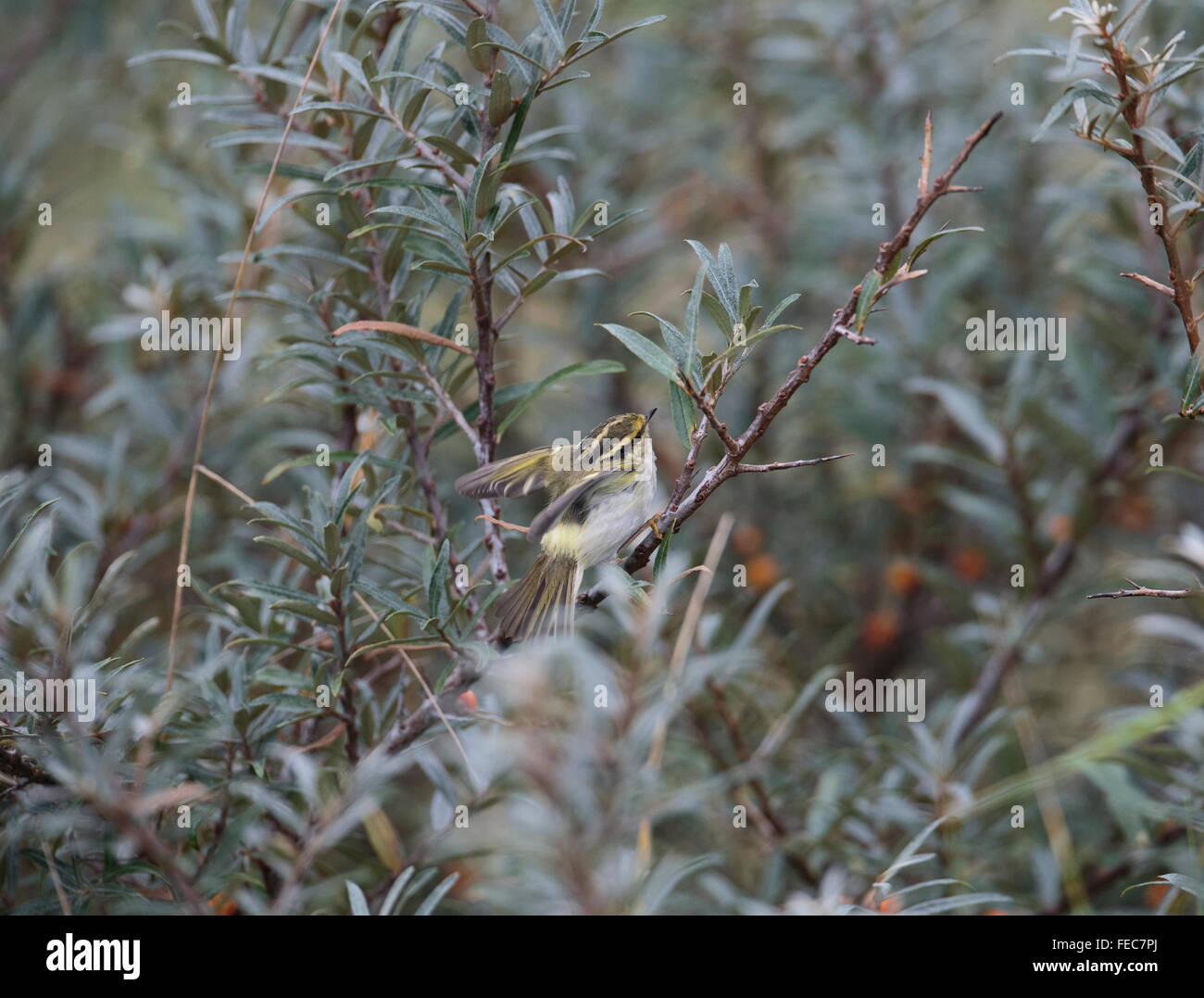 Pallas's Warbler, Phylloscopus, proregulus, Stock Photo