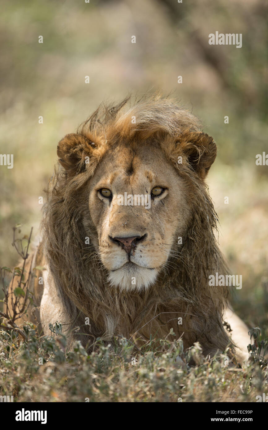 African Male Lion in the Serengeti National Park Tanzania - Stock Image
