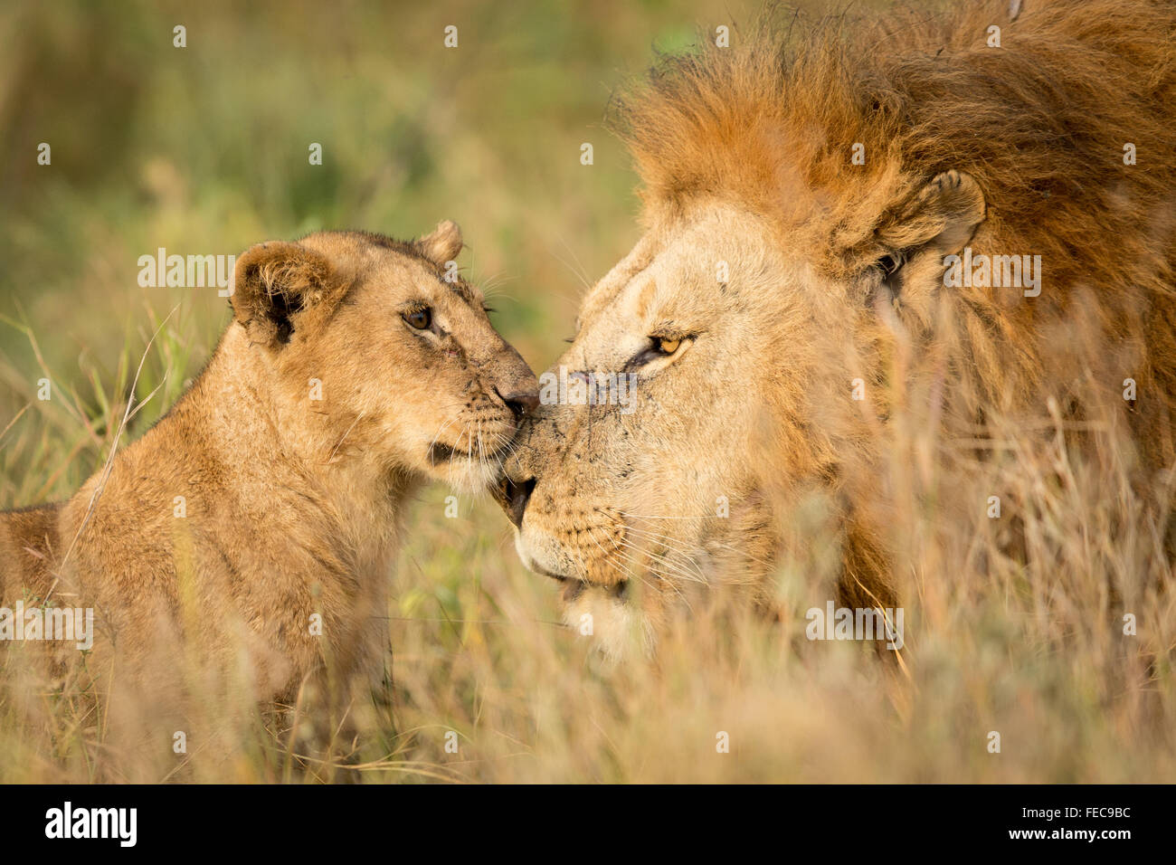 Adult Male African Lion and young cub in the Serengeti National Park Tanzania Stock Photo