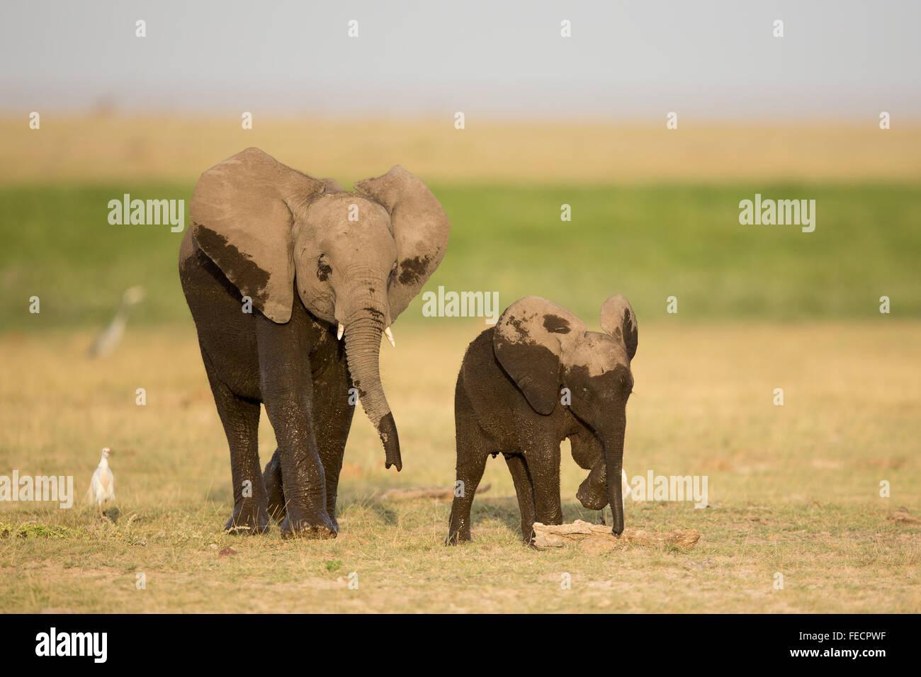 Two African Elephants  Amboseli National Park Kenya - Stock Image