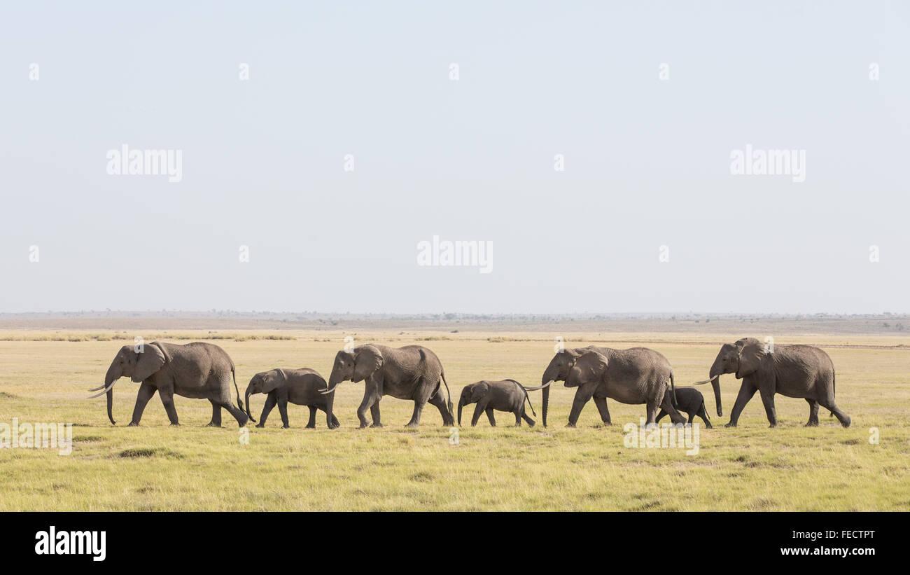 Herd of African Elephant walking in a line in Amboseli National Park Kenya - Stock Image