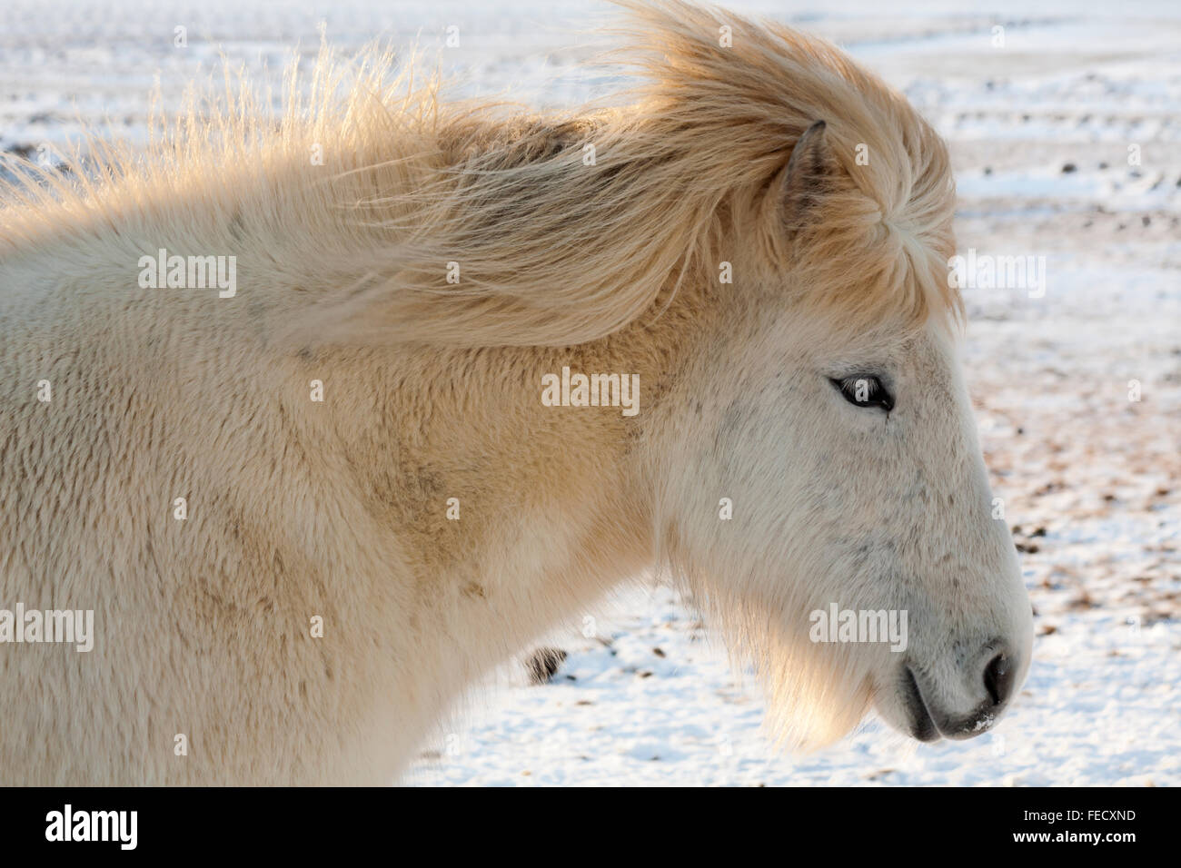 Close up of Icelandic horse in Iceland in January - Stock Image
