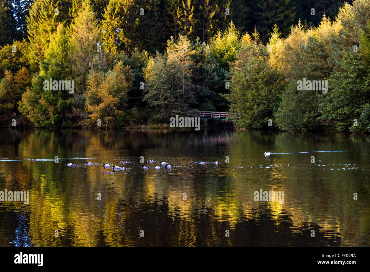 Mallards Pike Lake in the Forest of Dean, Gloucestershire, UK - Stock Image