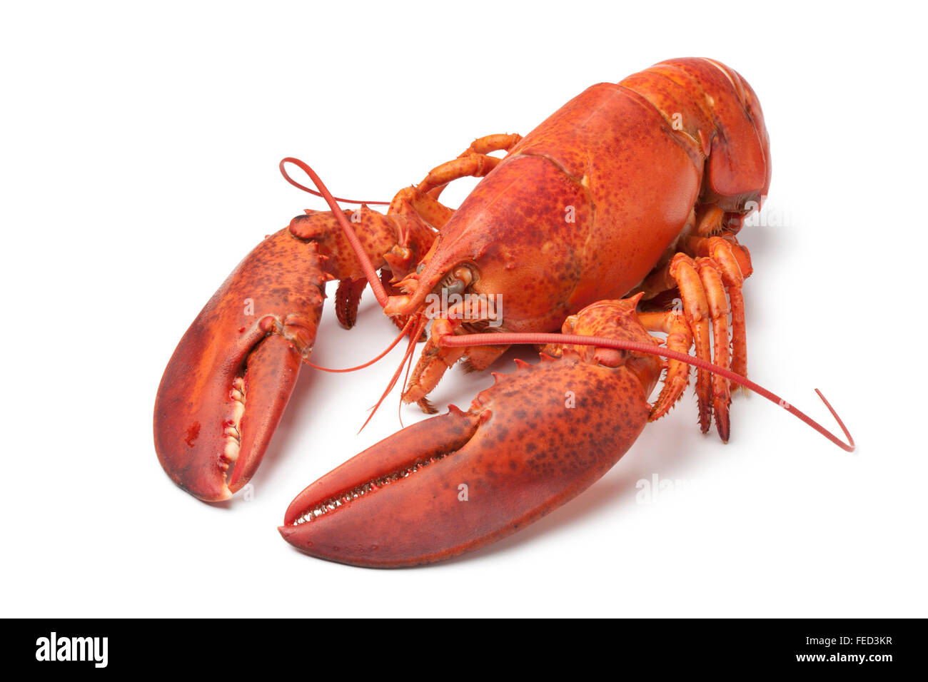 Single fresh cooked lobster on white background - Stock Image