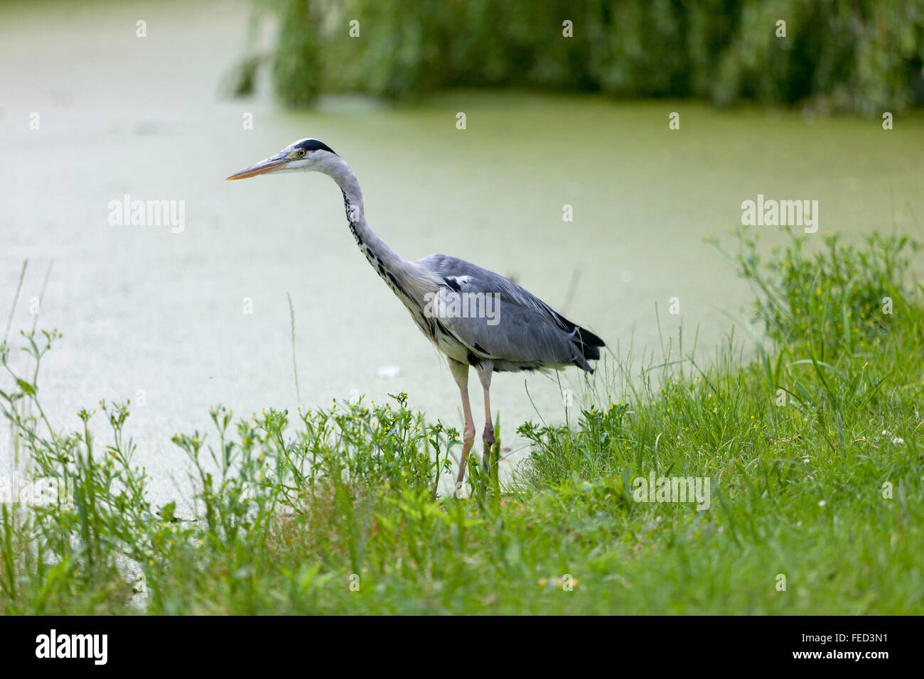 Blue heron on the waterside looking for food - Stock Image