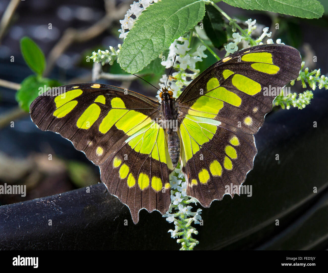 Closeup of Malachite Butterfly Siproeta stelenes on a flower at The Butterfly Estates in Fort Myers Florida - Stock Image