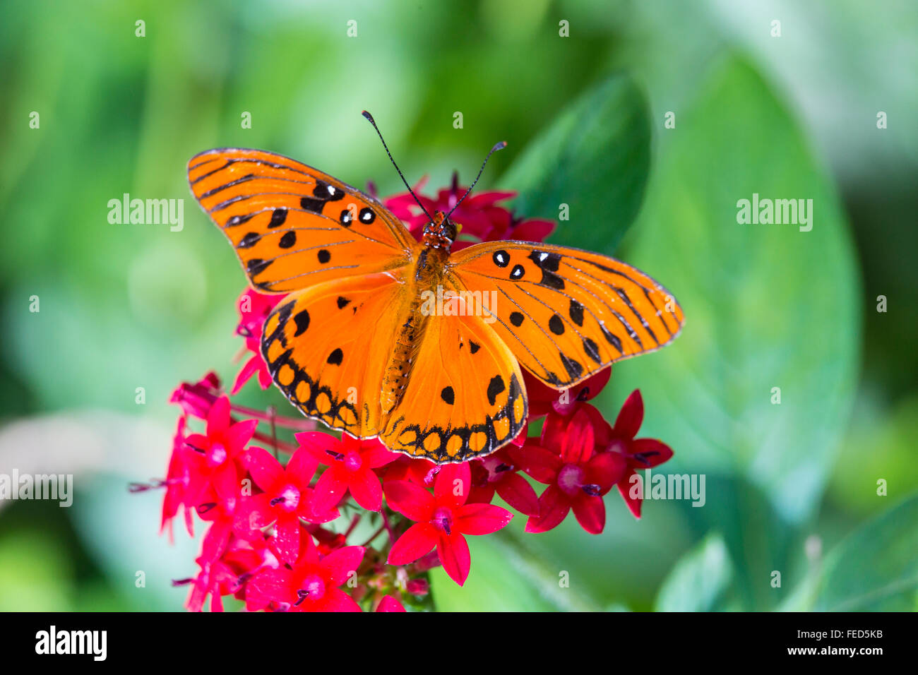 Gulf Fritillary Butterfly Agraulis vanillae on a flower at The Butterfly Estaes in Fort Myers Florida - Stock Image