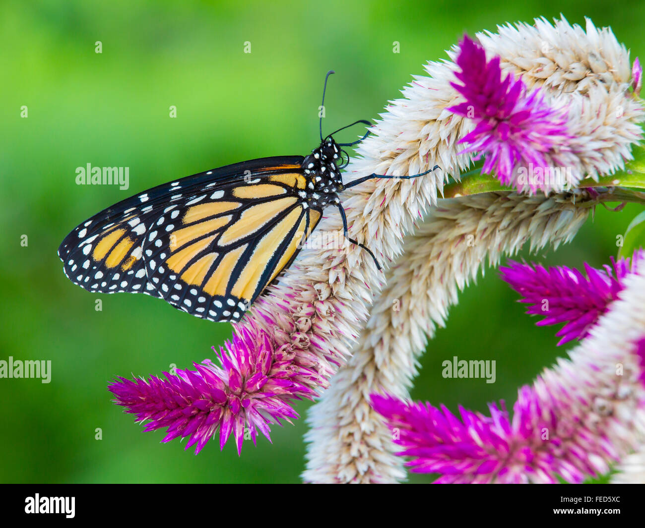 Closeup of Monarch Butterfly Danaus plexippus on a flower at The Butterfly Estates in Fort Myers Florida - Stock Image