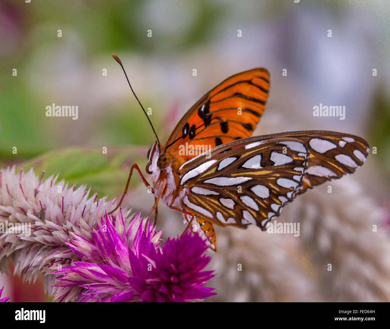 Gulf Fritillary Butterfly Agraulis vanillae on a flower at The Butterfly Estates in Fort Myers Florida - Stock Image