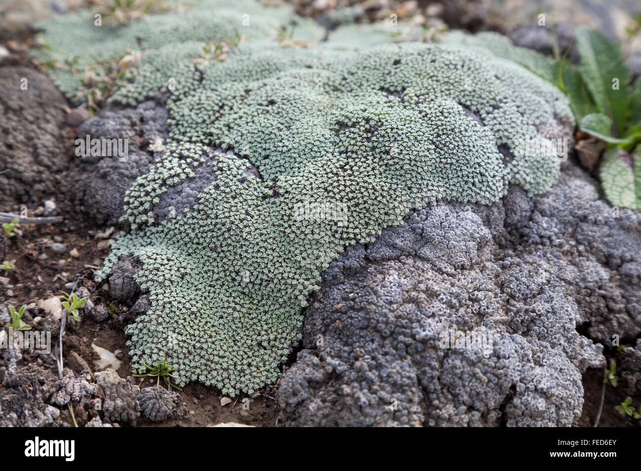 Lichen on the rocks in New Zealand rocks - Stock Image