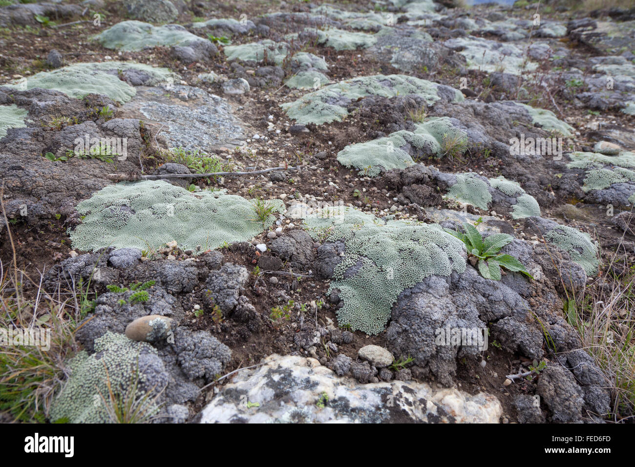 Lichen on the rocks in New Zealand - Stock Image