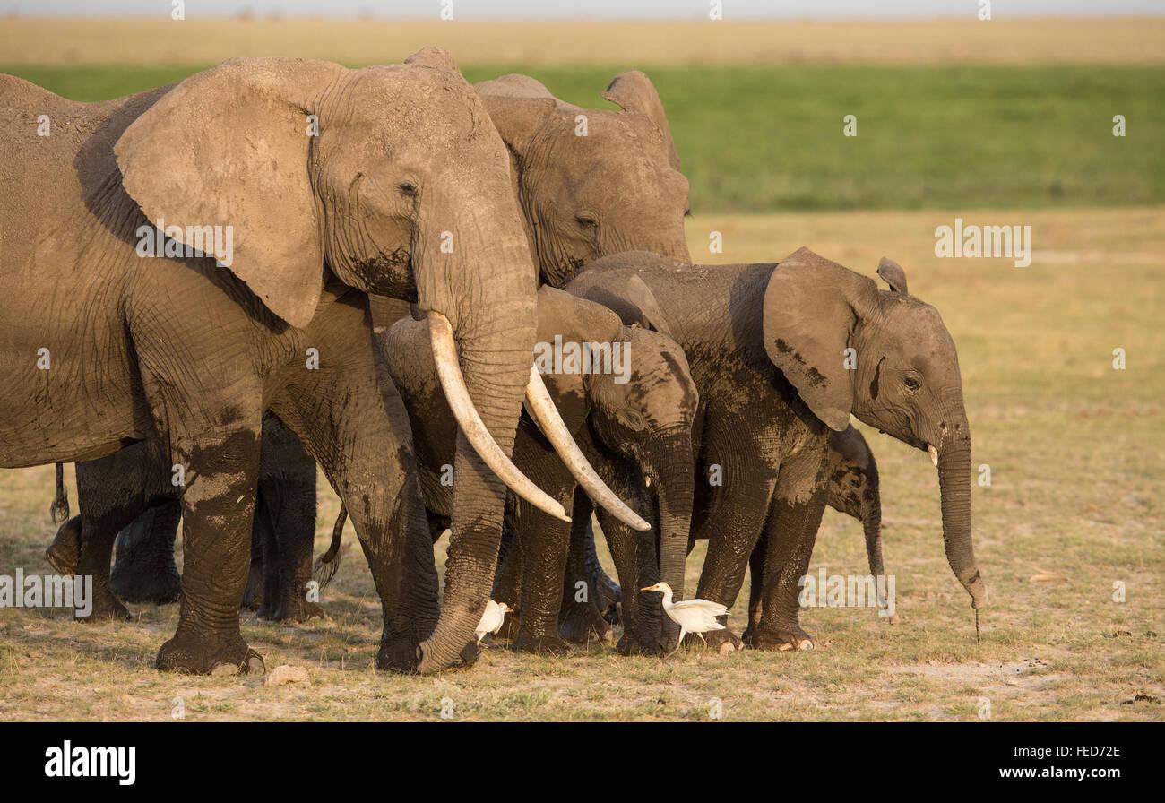 Herd of African Elephants in Amboseli, Kenya - Stock Image
