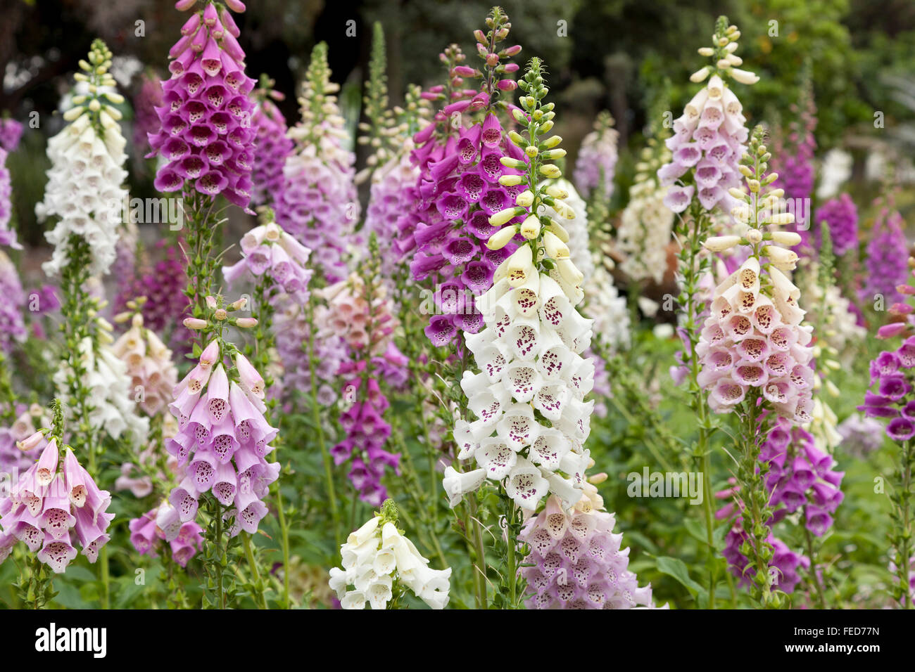 Fresh blooming purple and white foxglove in a field Stock Photo