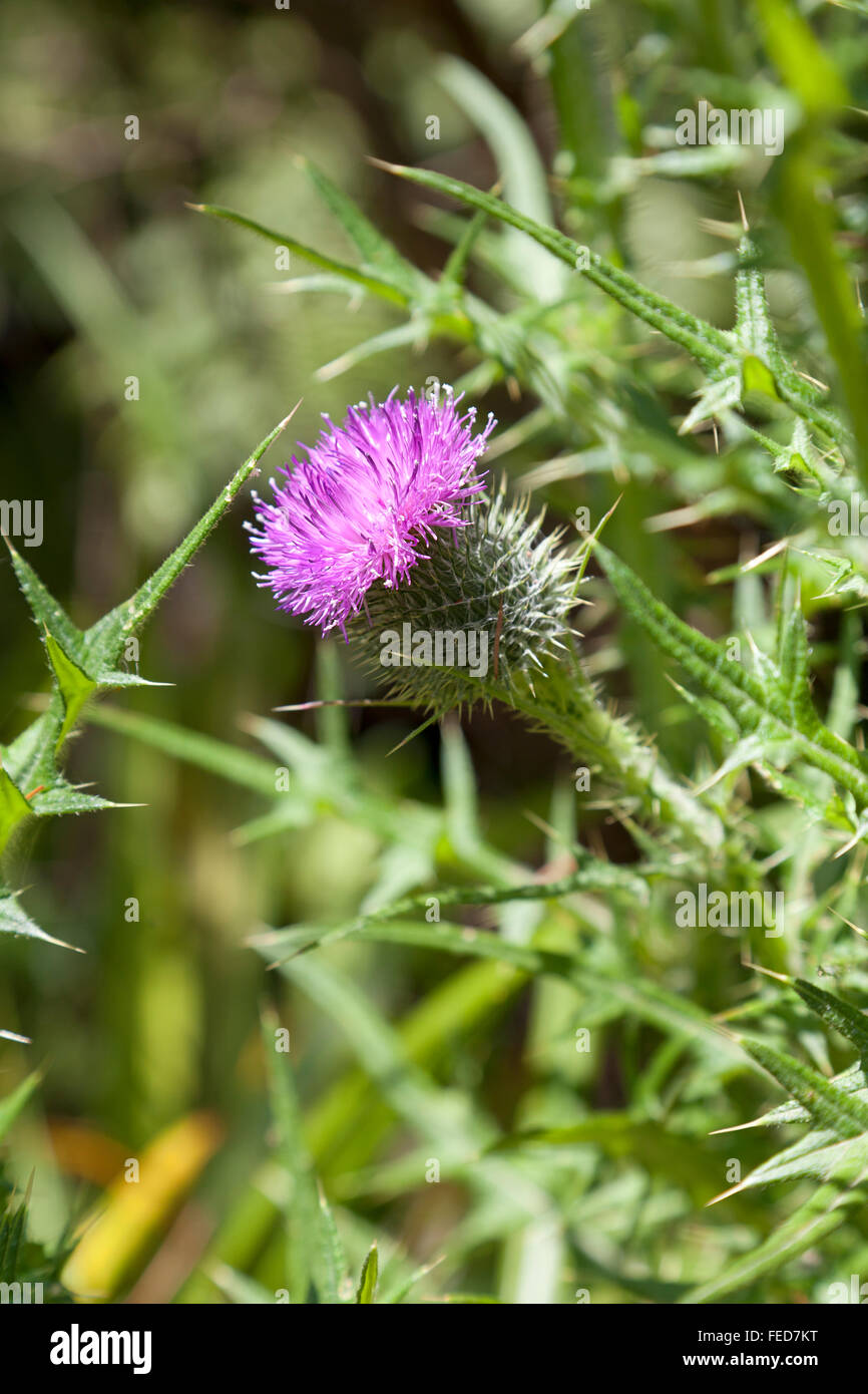 Purple blooming spear thistle - Stock Image