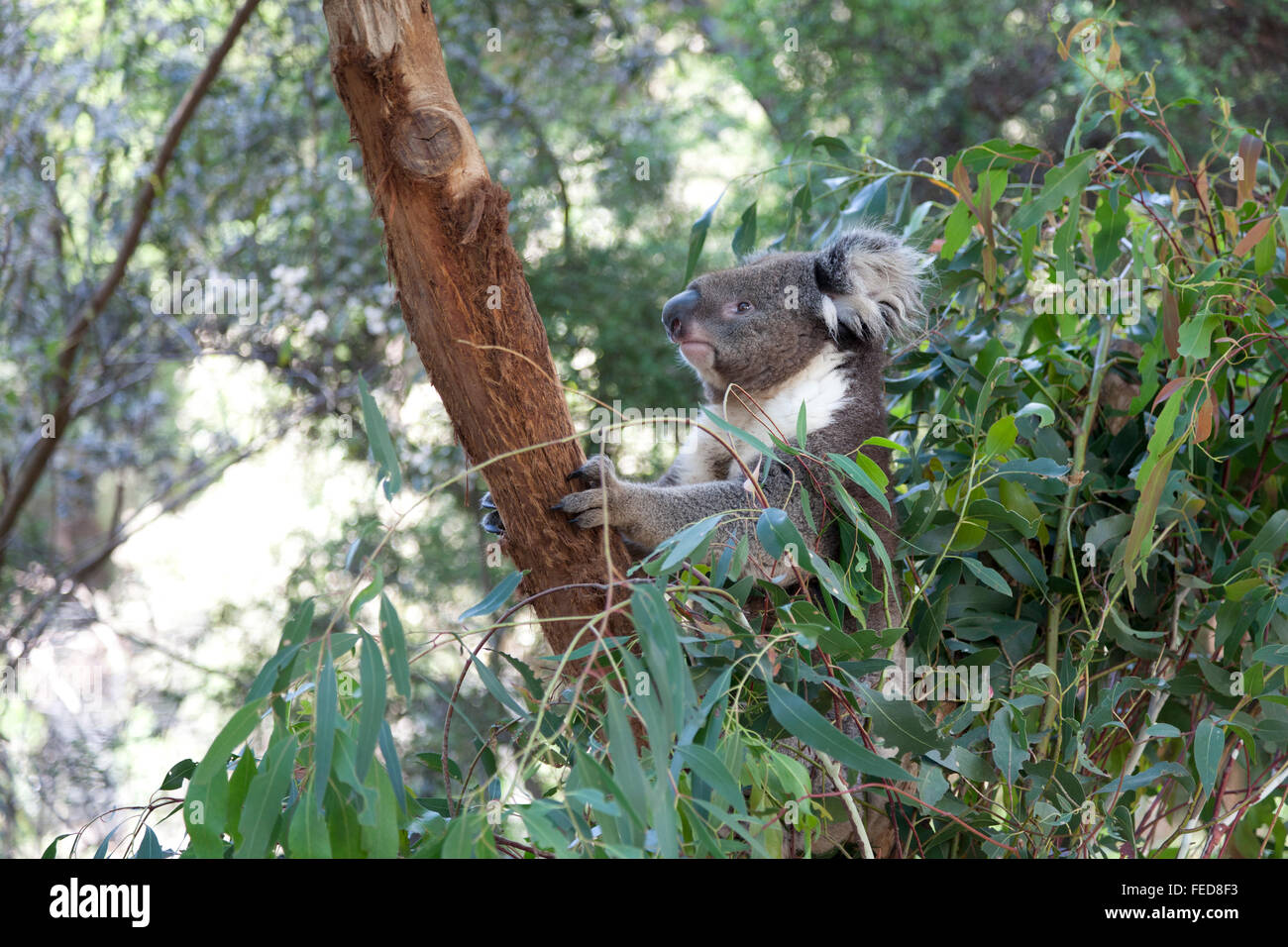 Koala on a tree trunk in Queensland, Australia - Stock Image
