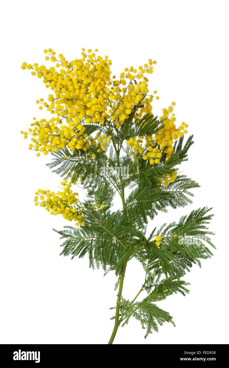 Twig of fresh yellow flowering mimosa on white background - Stock Image