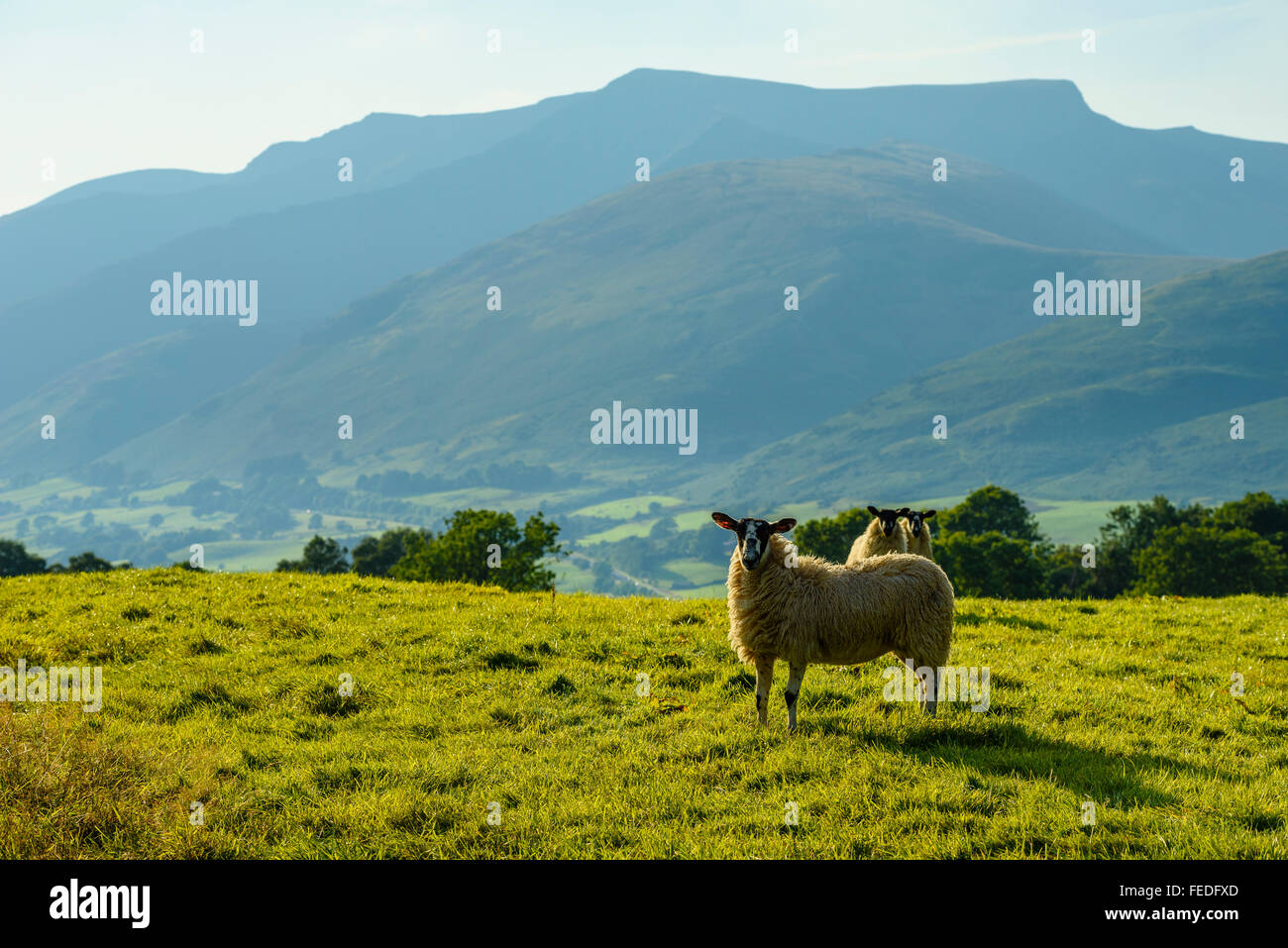 Sheep and Blencathra (also called Saddleback) in the English Lake District - Stock Image