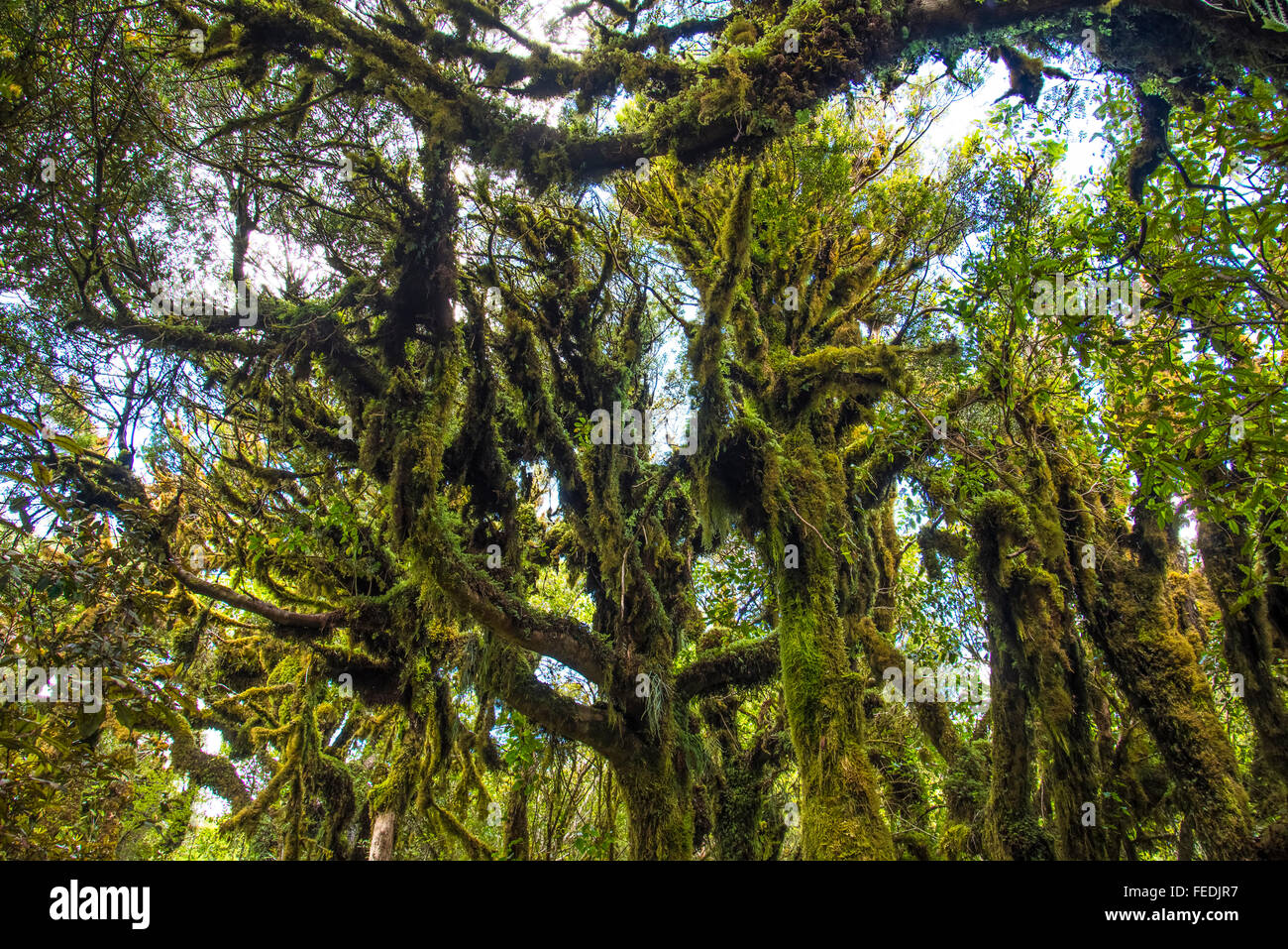 Mossy trees beside the Timber Trail in Pureora Forest Park North Island New Zealand - Stock Image