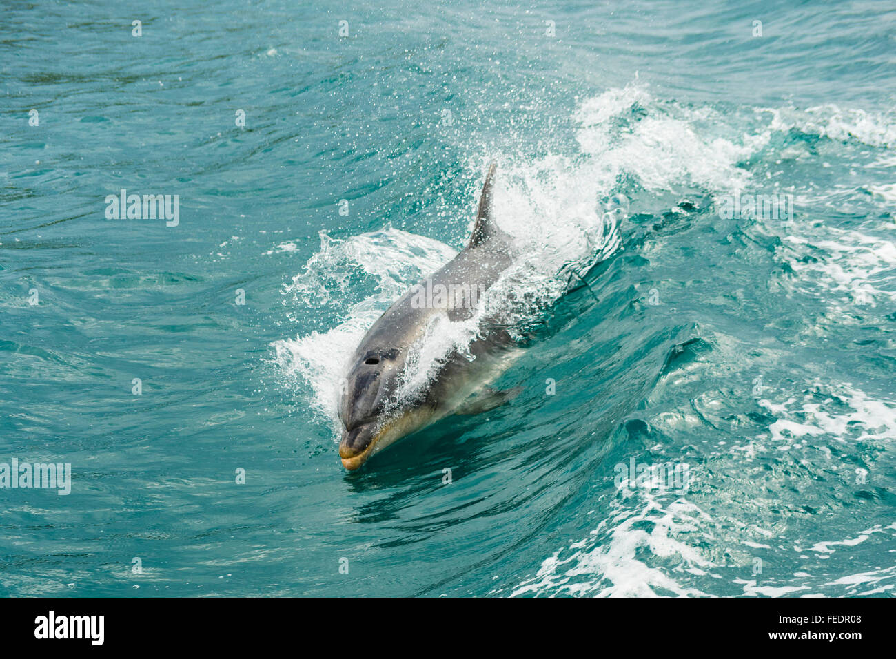 Bottlenose dolphin (Tursiops species) riding bow-wave of a boat in Popoure Reach  Marlborough Sounds New Zealand - Stock Image