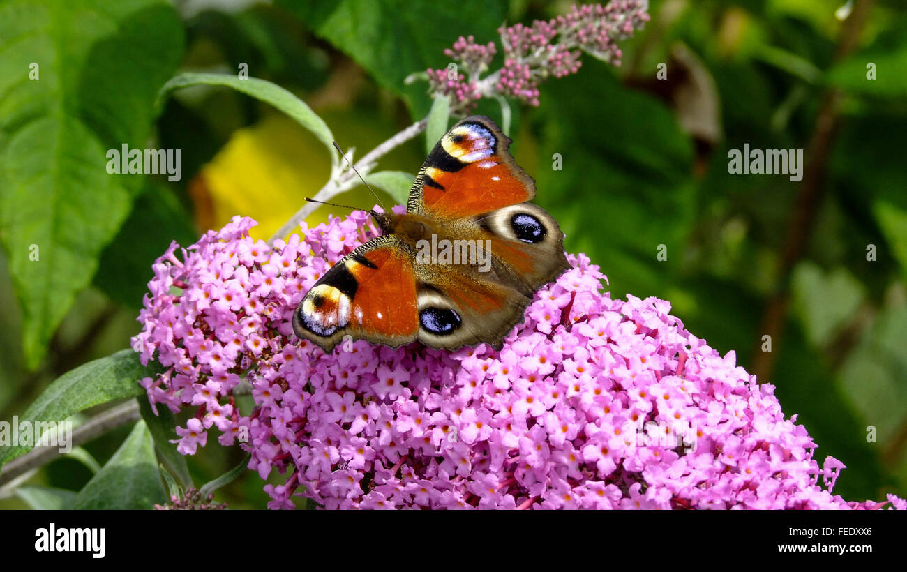 A Peacock butterfly feeding on nectar on a Buddleia Davidii flower in an English country garden - Stock Image