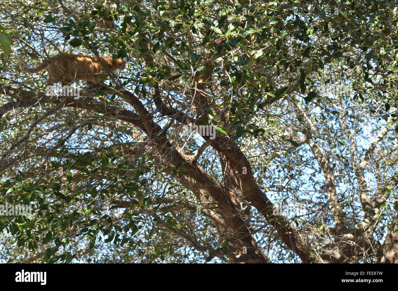 puzzle, tree, orange tabby, found, hunted, food, healthy, curious, attention, nature, blue skies, oak tree, question, - Stock Image