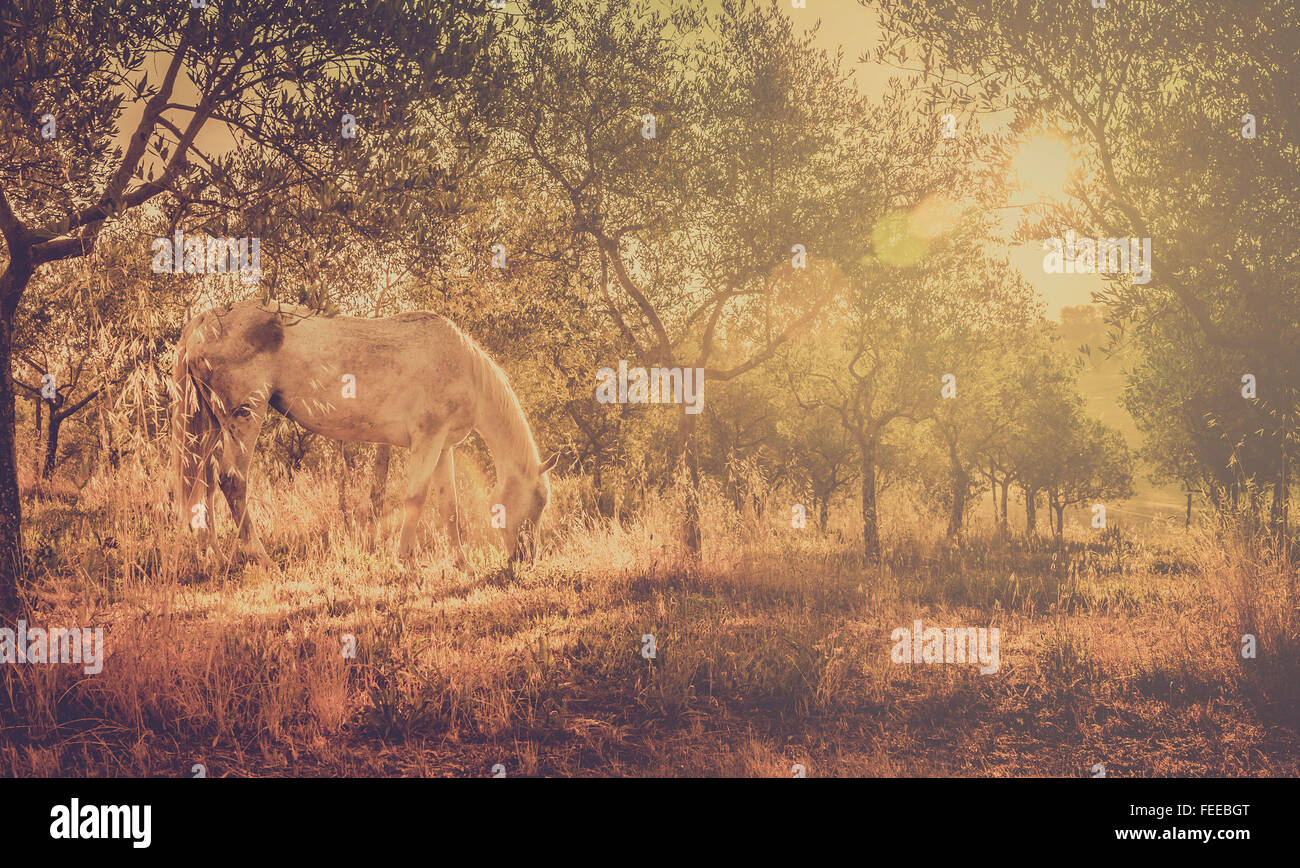Retro tone white wild horse in olive tuscan orchard - Stock Image