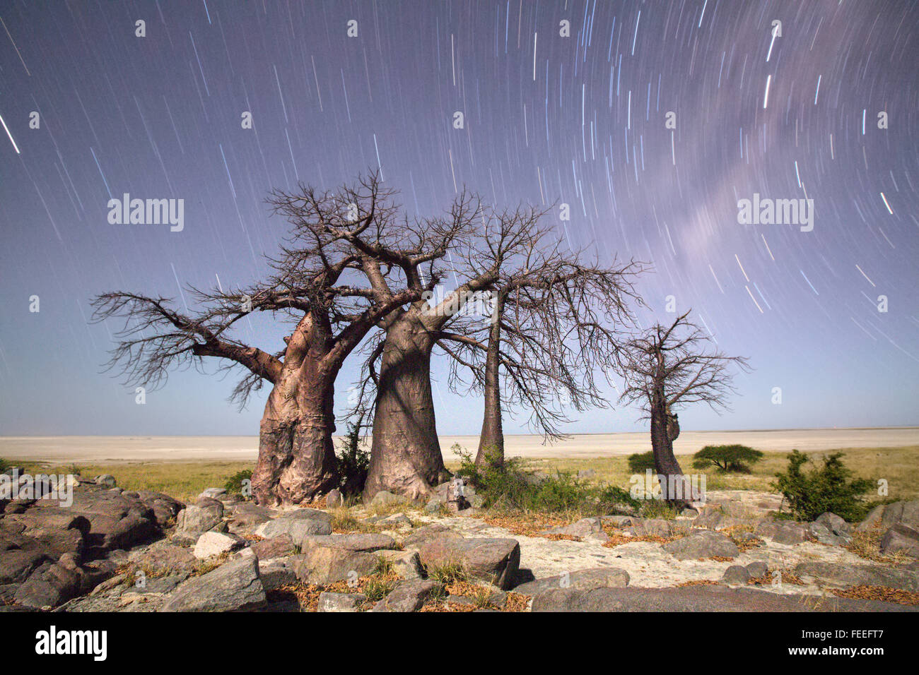 Baobab Tree on Kubu Island - Stock Image
