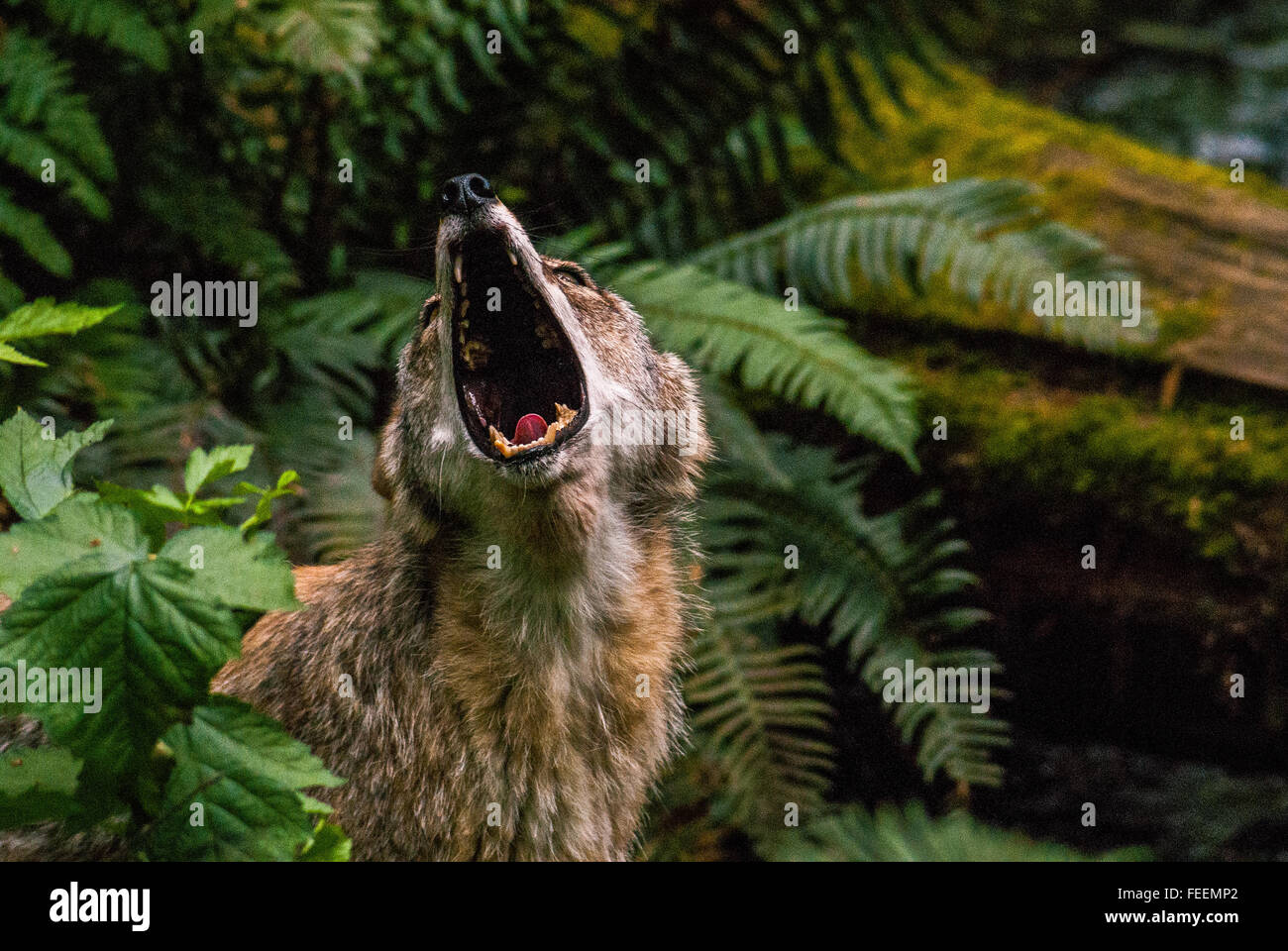 A captive Coyote (Canis latrans) howls to its pack mates. - Stock Image