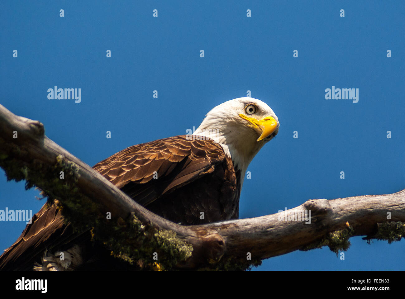 A Bald Eagle looking down. - Stock Image