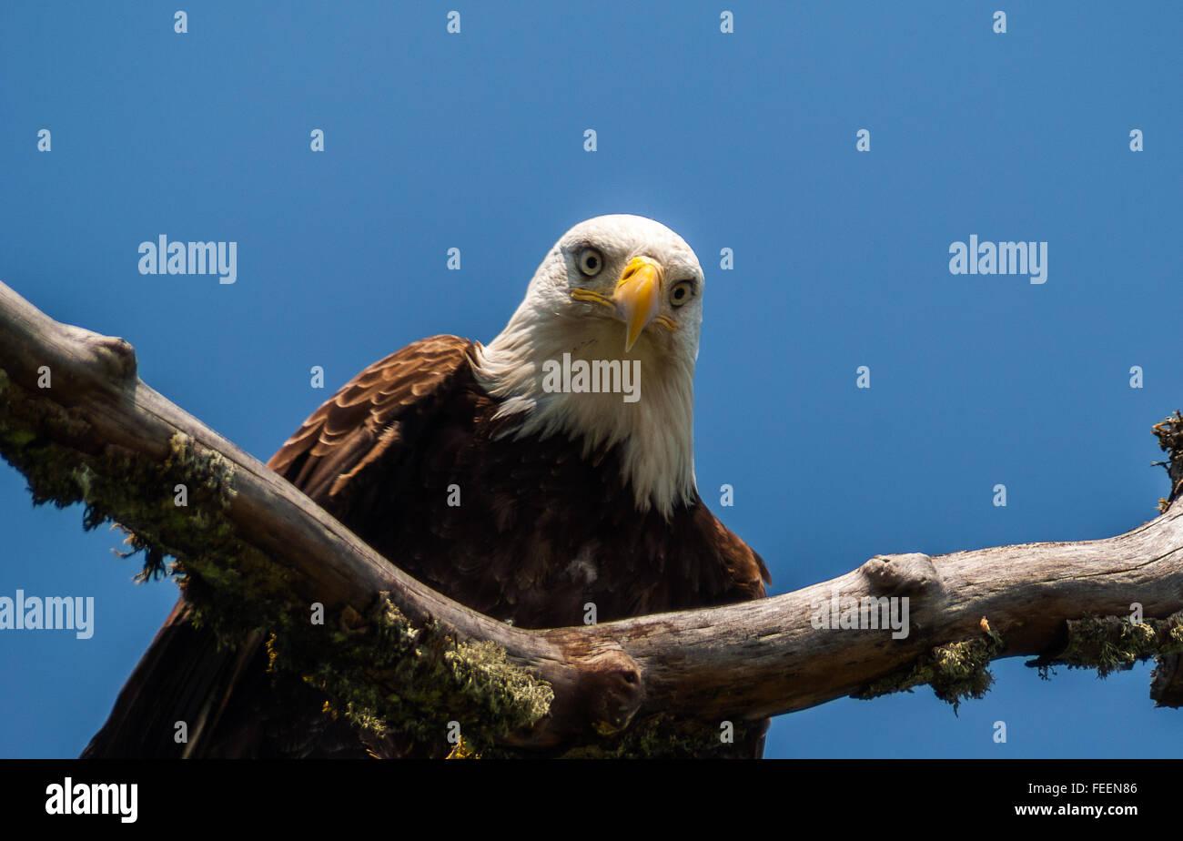 A Bald Eagle stares. - Stock Image