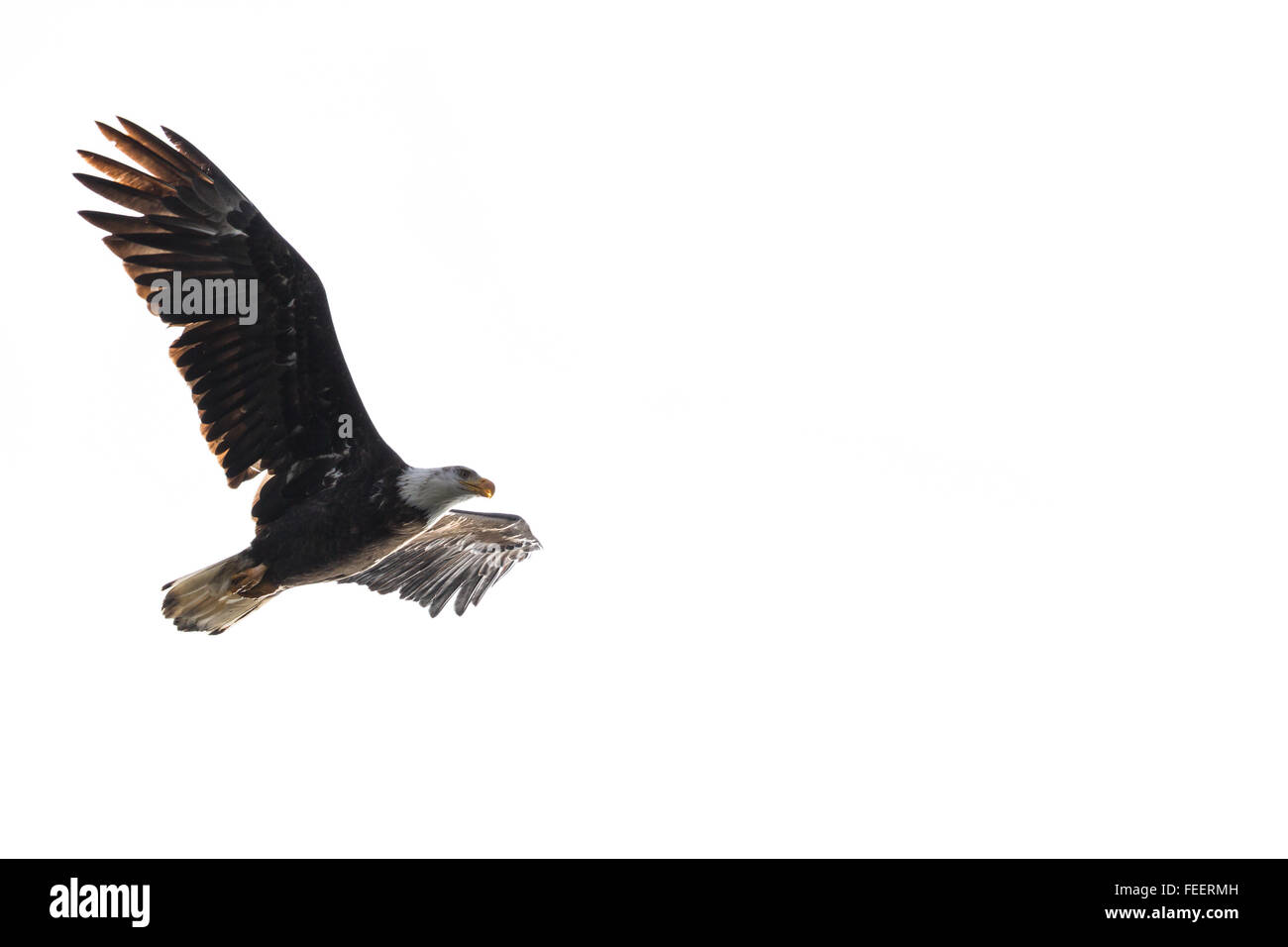 powerful American Bald Eagle flying over lake Coeur d' Alene in northern Idaho - Stock Image