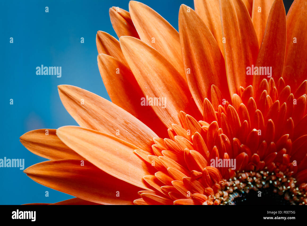 Bright orange flower, petals of gerbera flowers on bright blue sunny background. Up Detail. - Stock Image