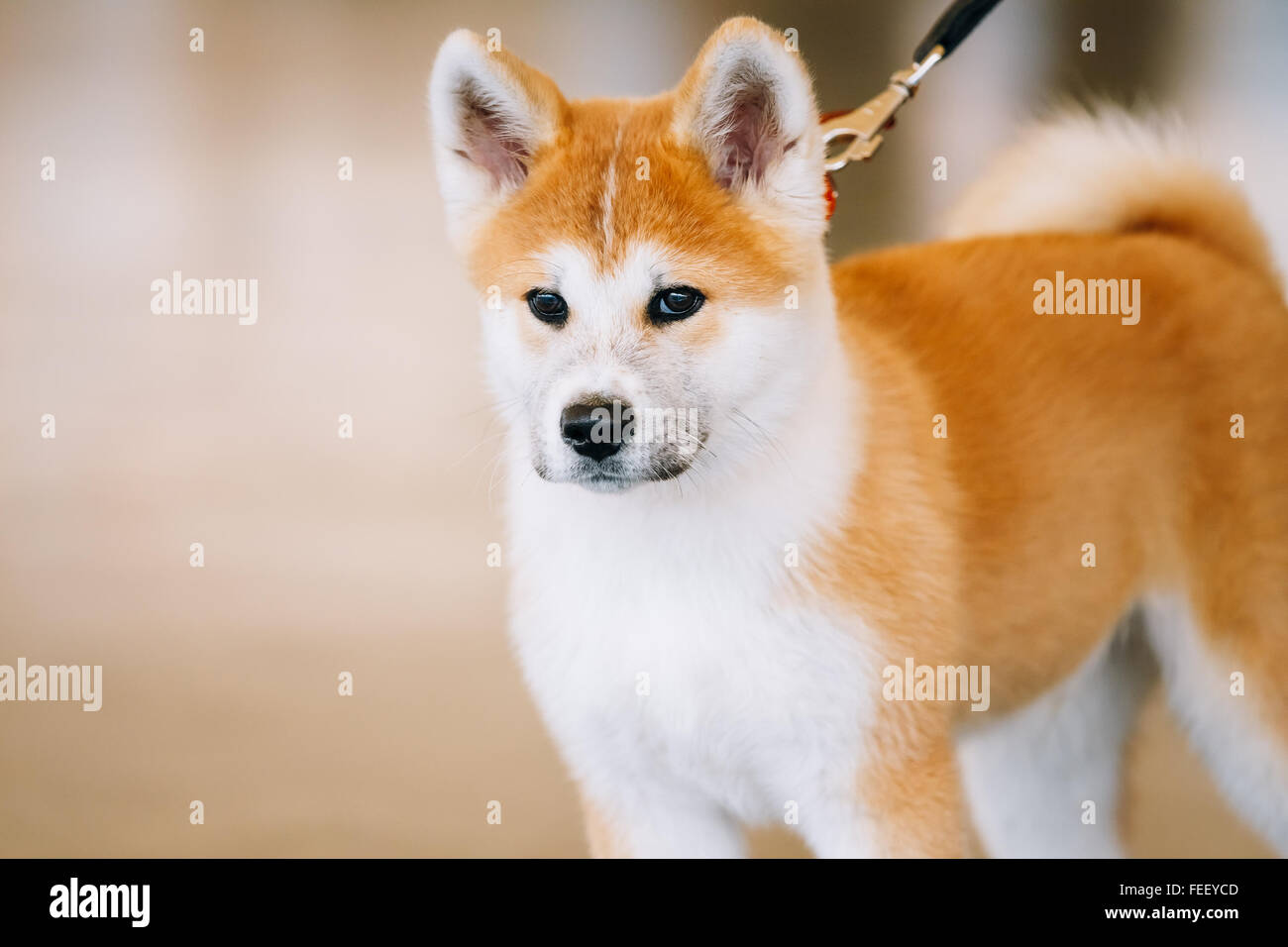 Young White And Red Akita Inu Dog Japanese Akita Puppy Close Up Stock Photo Alamy