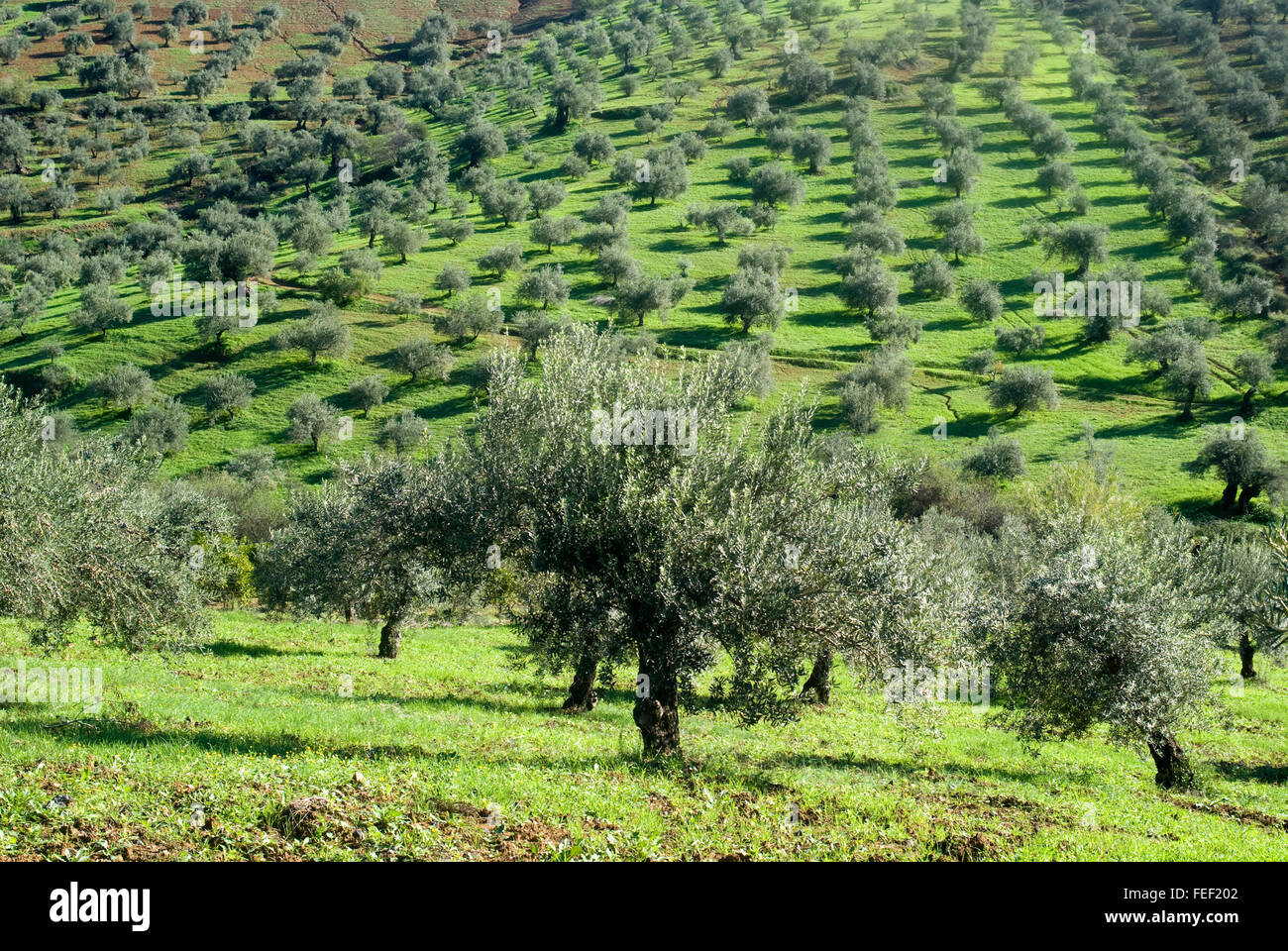 Olive orchards in the Andalusia region of Spain - Stock Image