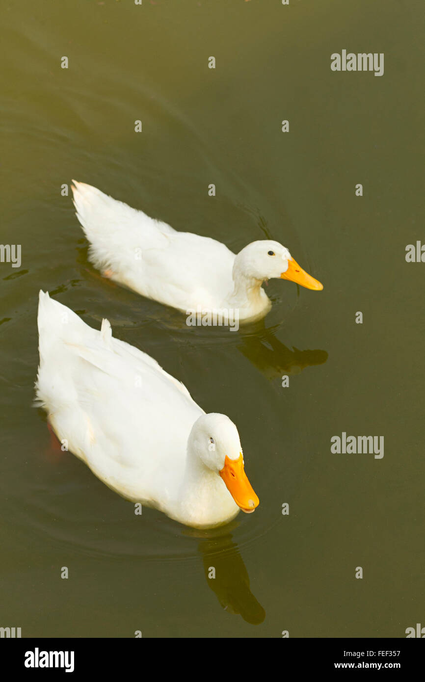American Pekin duck at a city park, Belgaum, karnataka, India - Stock Image