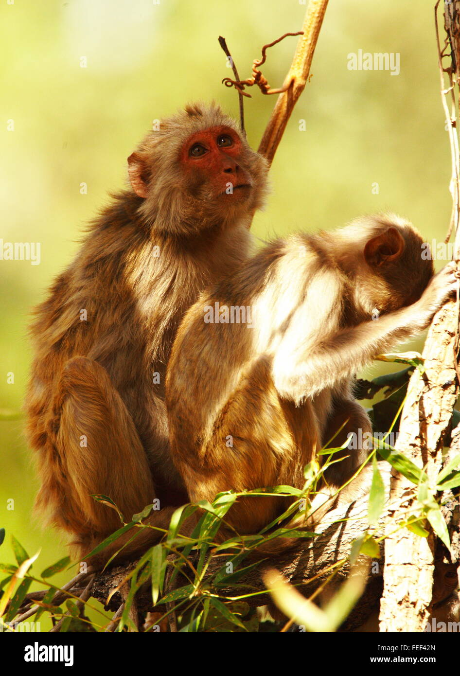 The rhesus macaque (Macaca mulatta) Pair in a tree India - Stock Image