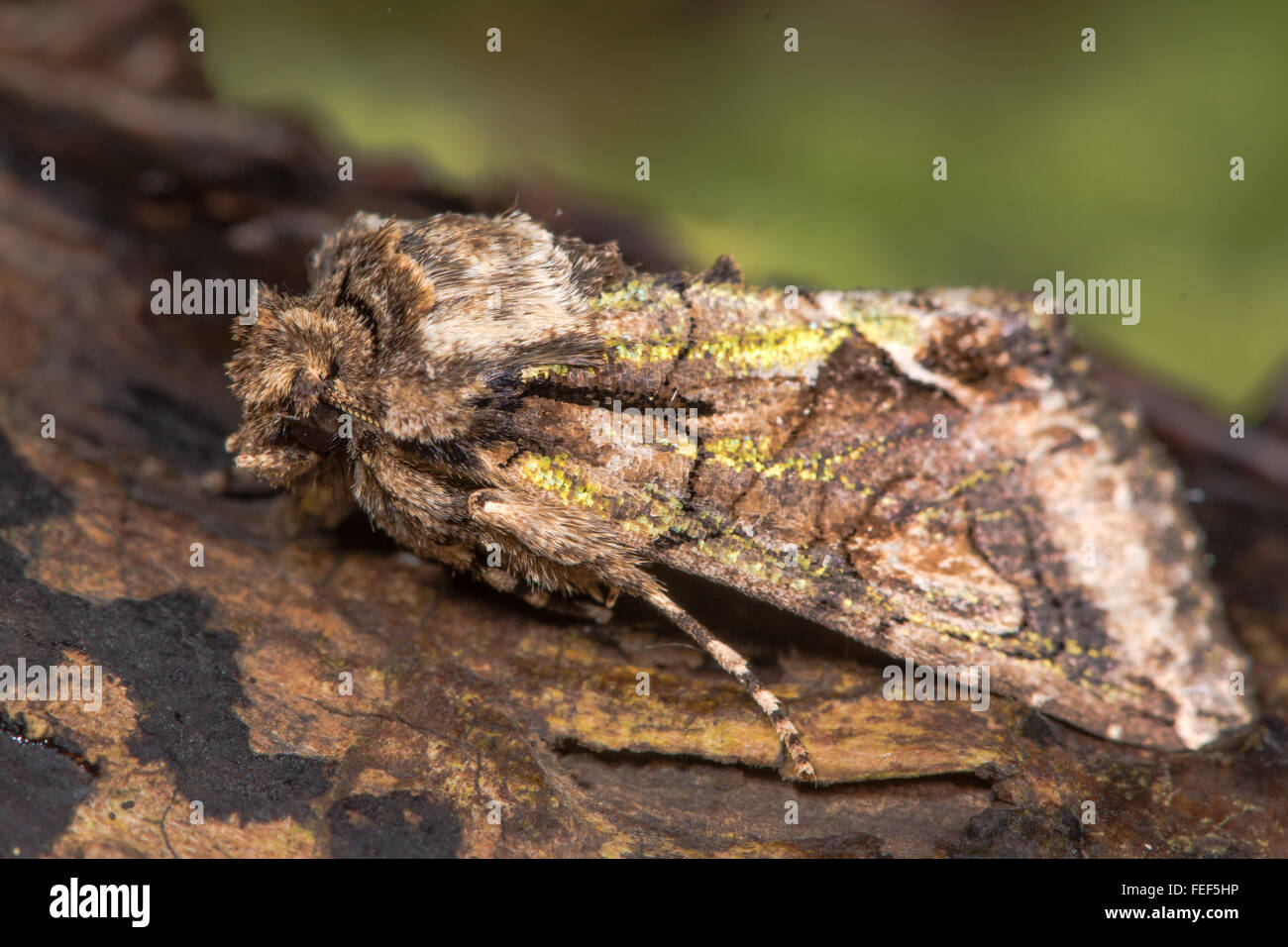 Green-brindled crescent (Allophyes oxyacanthae) moth. An autumnal moth in the family Noctuidae, at rest on wood - Stock Image