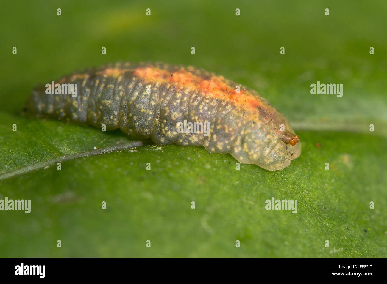 Hoverfly larva respiratory processes. A larva of a hoverfly in the family Syrphidae, with posterior respiratory - Stock Image