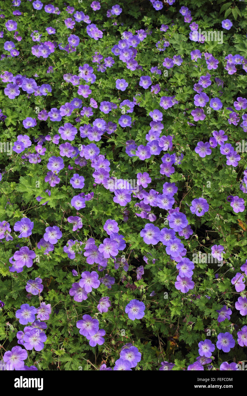 Perennial purple flowering geranium rozanne is a popular garden perennial purple flowering geranium rozanne is a popular garden shrub surrey england uk mightylinksfo