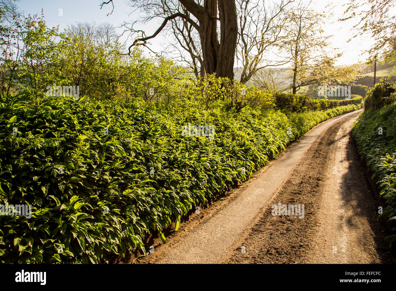 Wild Garlic (Allium ursinum) growing in abundance beneath a hedegerow alongside a country lane in Wiltshire UK - Stock Image