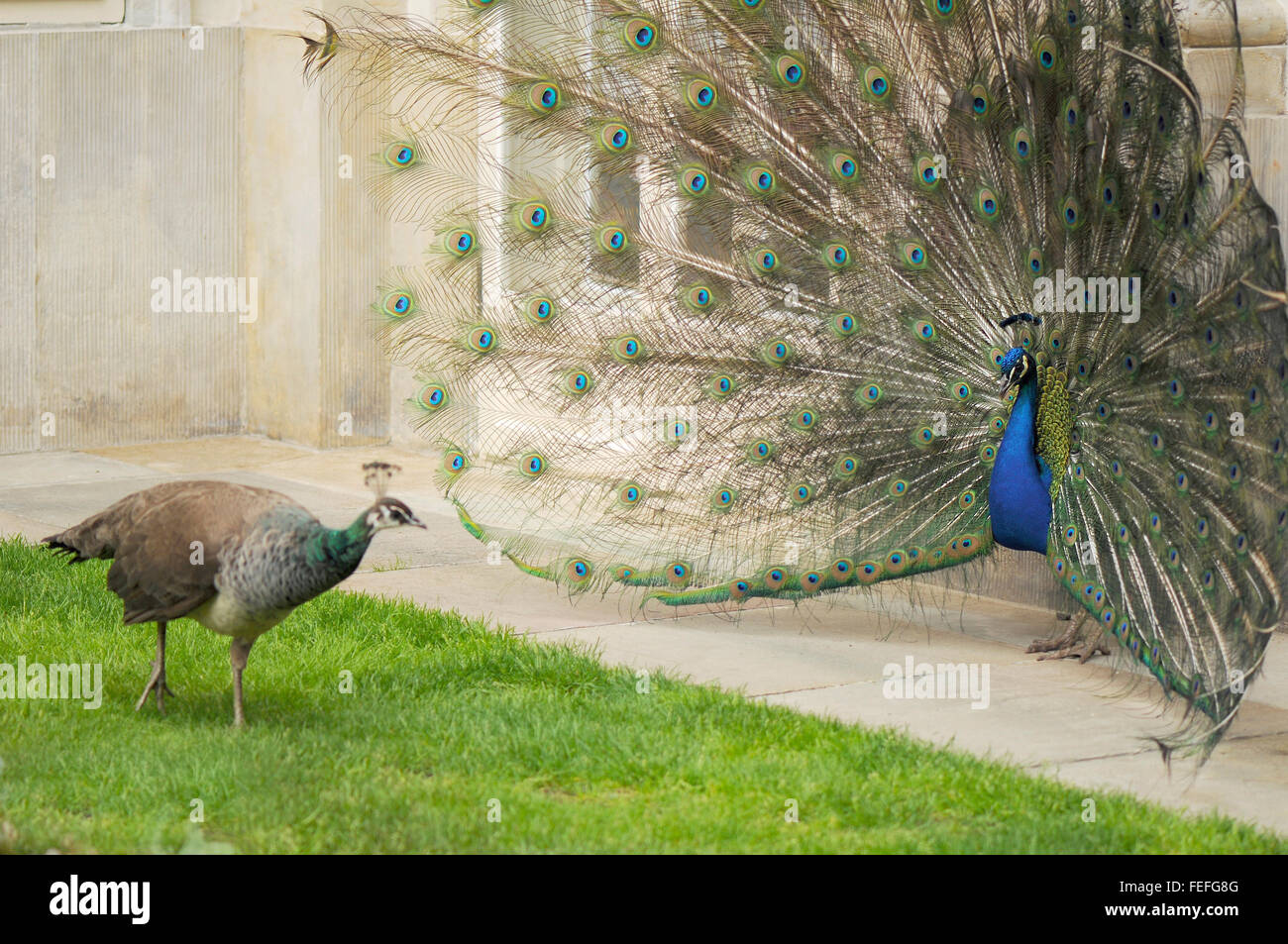 Peahen And Peacock Mating Male And Female Peacoc...