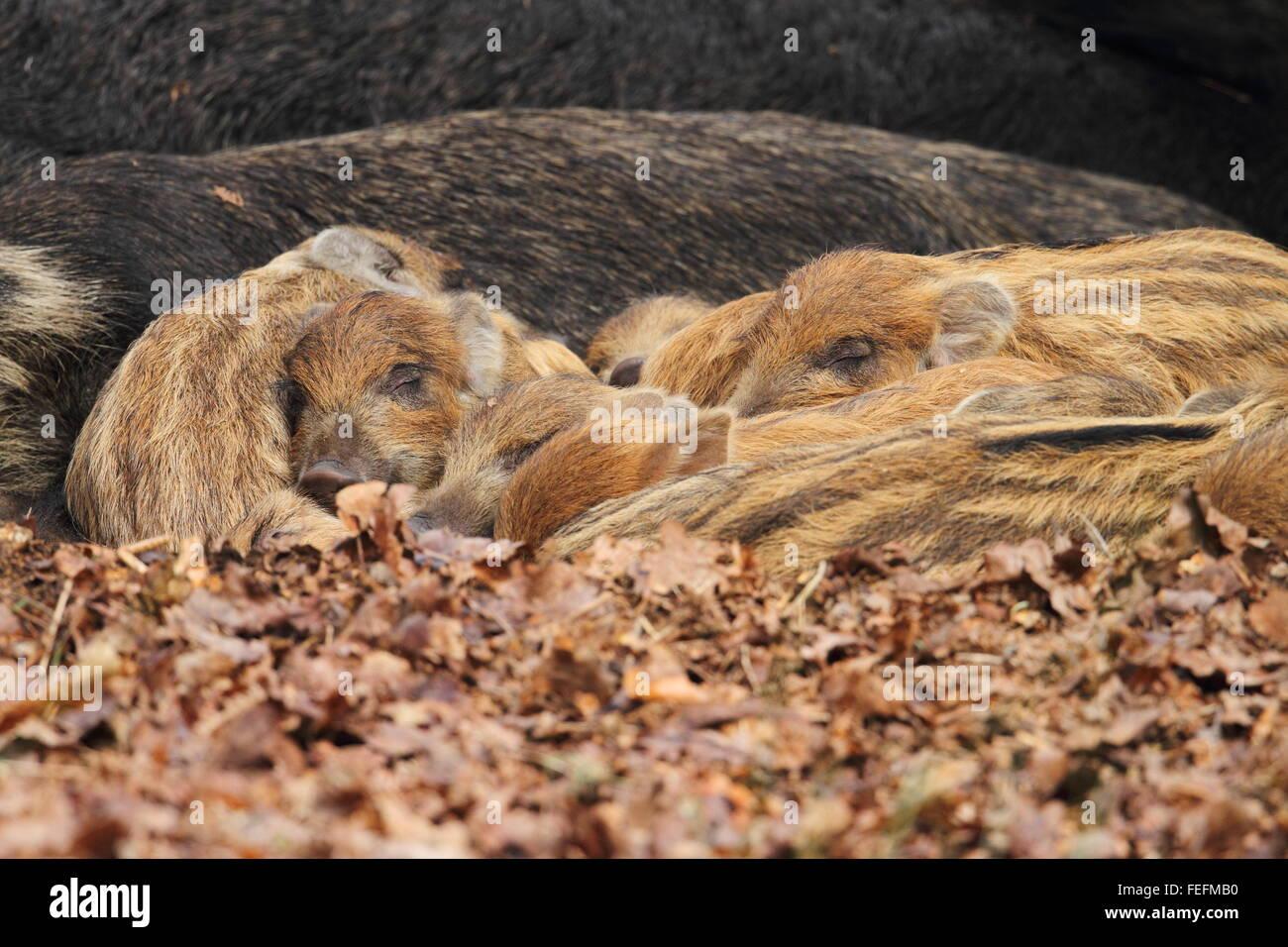 Sleeping Wild Boar piglets (Sus scrofa), Forest of Dean UK - Stock Image