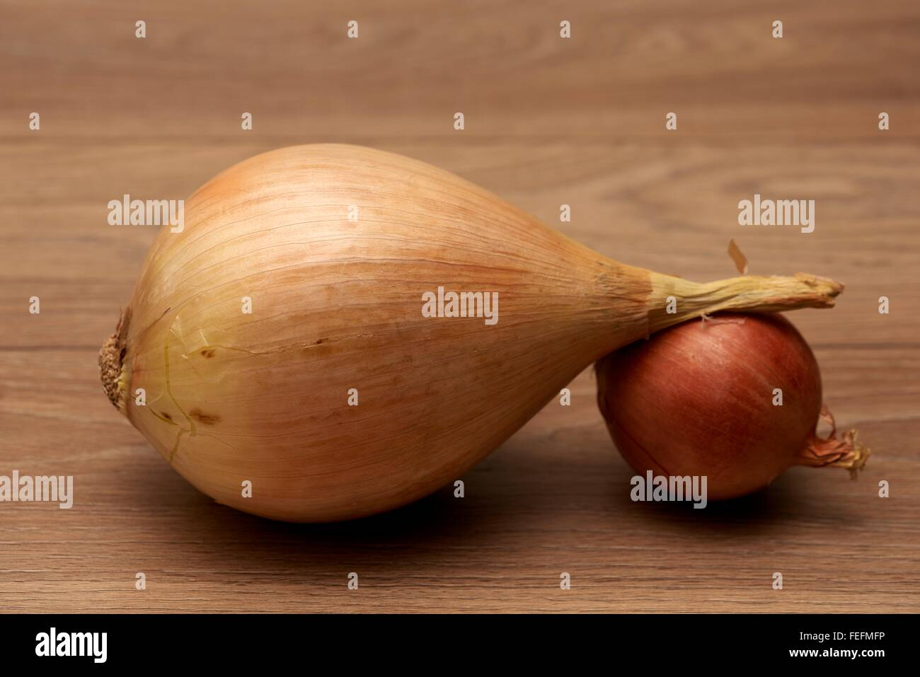 One giant prize winning onion and one small onion - Stock Image