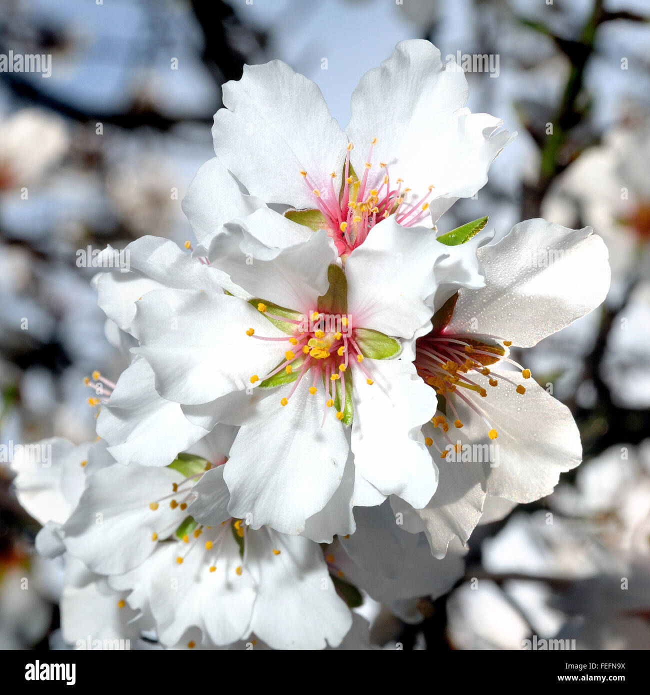 Picture of of the almond tree in blossoms, photographed in the sunlight with the aid of a flash - Stock Image