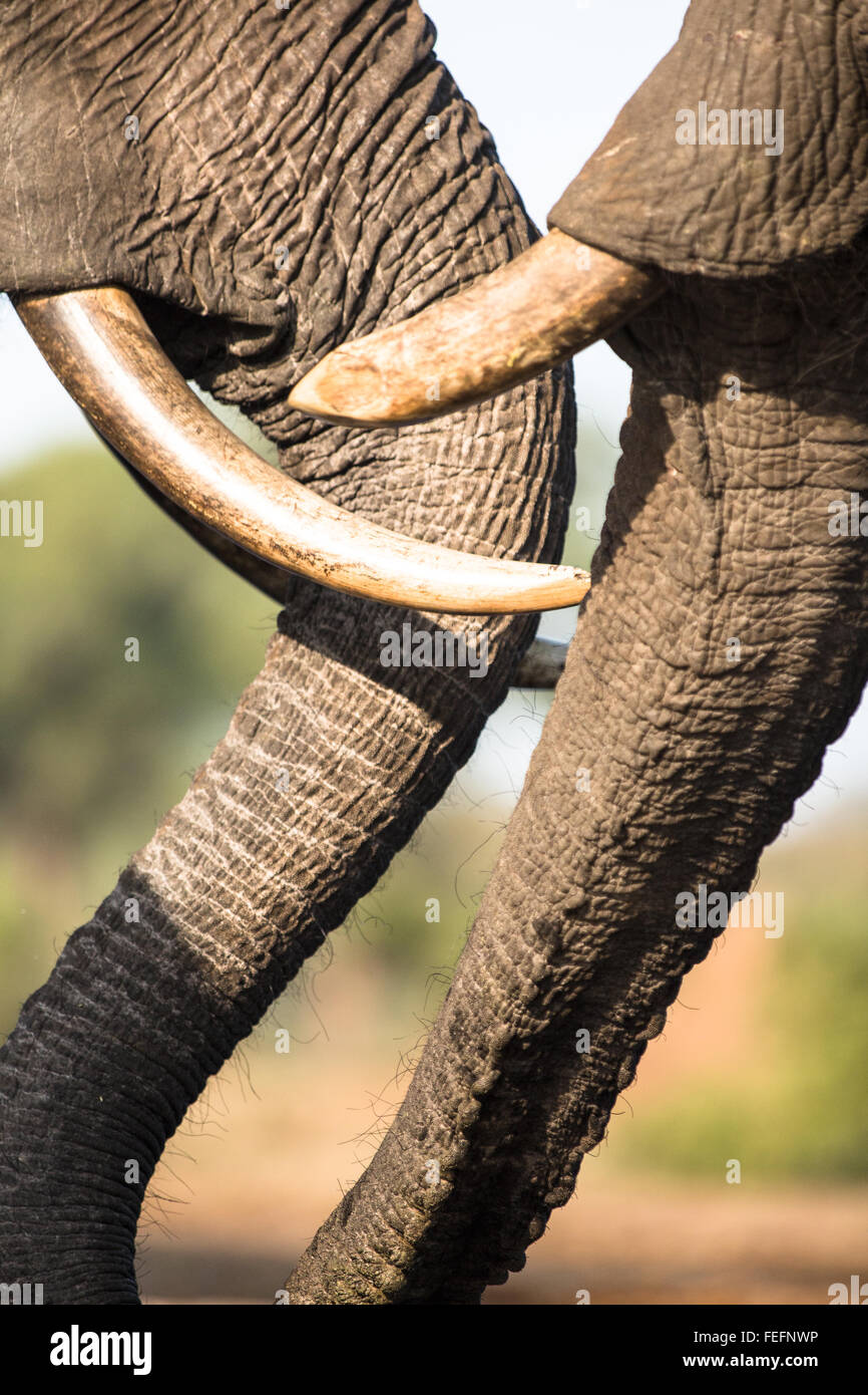 Details of an African Elephant - Stock Image