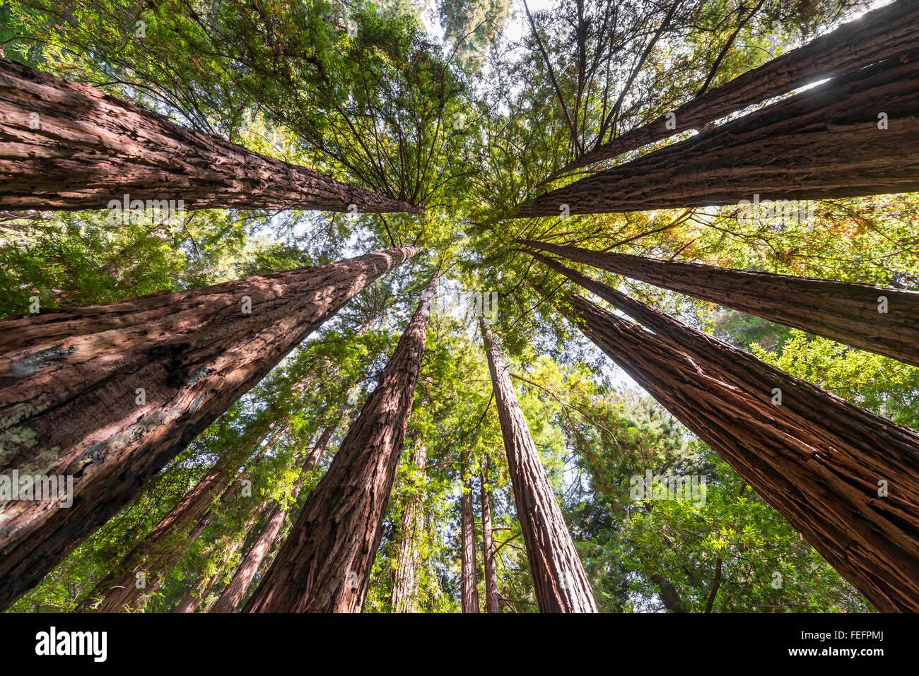 Coast redwoods (Sequoia sempervirens), tree canopy, Muir Woods National Park, California, USA Stock Photo
