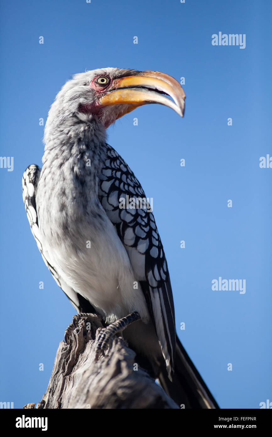 Yellow billed horn bill - Stock Image