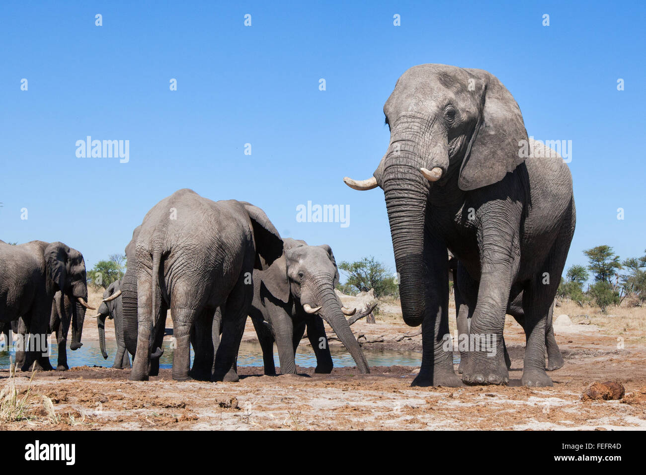 Elephant at a waterhole - Stock Image