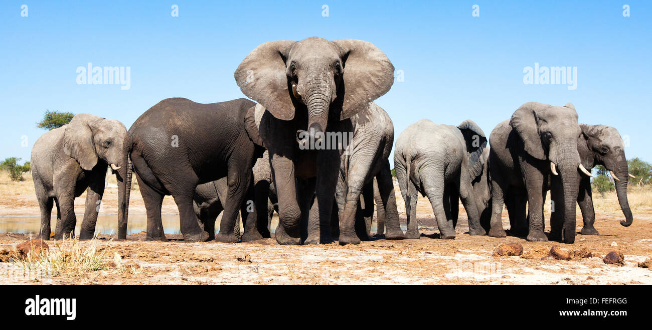 Elephant at a waterhole - Stock Image